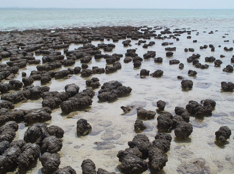 File:Stromatolites in Sharkbay.jpg